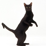 Black Oriental cat standing up