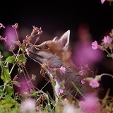 Red Fox cub among flowers