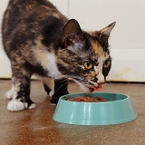 Tortoiseshell cat eating wet food from plastic bowl