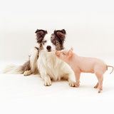 Piglet and Border Collie