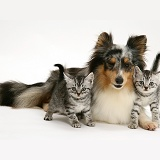 Silver tabby kittens and Sheltie