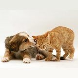 Ginger kitten and Border Collie pup