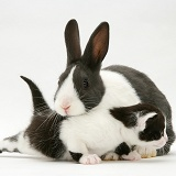 Black-and-white kitten with grey-and-white Dutch rabbit