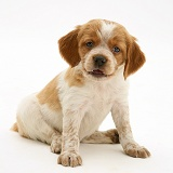 Brittany Spaniel pup, 6 weeks old