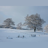 Oak trees with snow in Albury Park