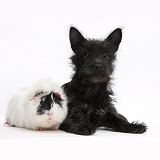 Black Terrier-cross puppy with Guinea pig