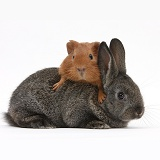 Baby agouti rabbit and baby red Guinea pig