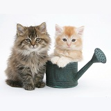 Maine Coon kittens in a small watering can