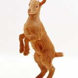 Ginger goat standing on hind legs