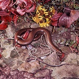Slow-worm female with newborn young