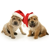 Shar Pei pups with Santa hats on