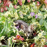 Silver tabby kitten among flowers