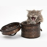 Maine Coon kitten, 7 weeks old, yawning in a basket