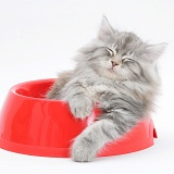 Maine Coon kitten, 8 weeks old, in a plastic food bowl