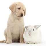 Yellow Labrador pup with white rabbit