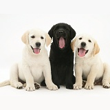 Yellow and black Goldador Retriever puppies