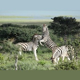 Plains zebras sparring