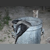 Ratel raiding a dustbin