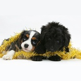 King Charles Spaniel and Sheltie x Poodle pup