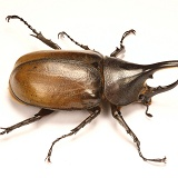 Rhinoceros beetle male