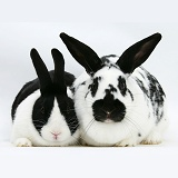 Black-and-white spotted and black Dutch rabbits