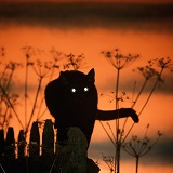 Black cat with shining eyes at sunset
