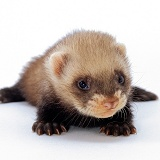 Baby domestic Polecat Ferret