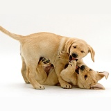 Retriever pups play-fighting