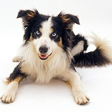 Tricolour Border Collie dog lying down with head up
