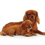 Ruby Cavalier King Charles Spaniel mother and puppy