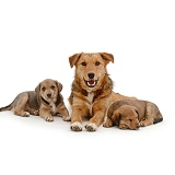 Brown dog and puppies