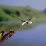 Alder Fly in flight