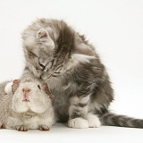 Silver Guinea pig with silver tabby Maine Coon kitten
