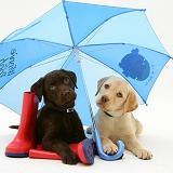 Retriever pups under a blue umbrella