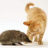 Ginger kitten meeting a young hedgehog