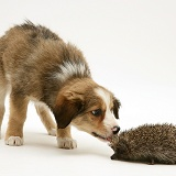Border Collie pup examining a hedgehog