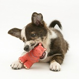 Mongrel pup chewing a squeaky toy
