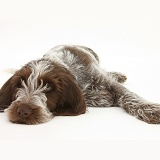 Spinone pup lying