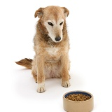 Lakeland Terrier x Border Collie with food bowl