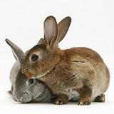 Two young Rex rabbits