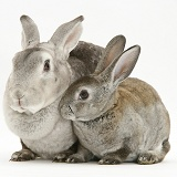 Rex rabbit Mother and young rabbit