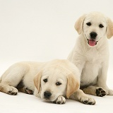 Yellow Goldador Retriever puppies