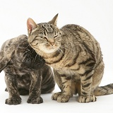 Brindle English Mastiff pup with tabby cat