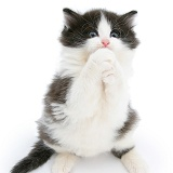 Black-and-white kitten clasping its paws and begging