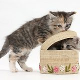 Maine Coon-cross kittens with a basket