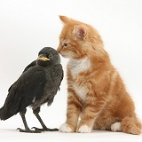 Ginger kitten and baby Jackdaw