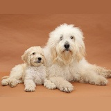 White Labradoodle bitch and pup