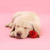 Yellow Labrador Retriever pup sleeping with a rose