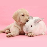 Yellow Labrador Retriever pup and white rabbit