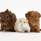 Baby Guinea pigs and Russian Hamster